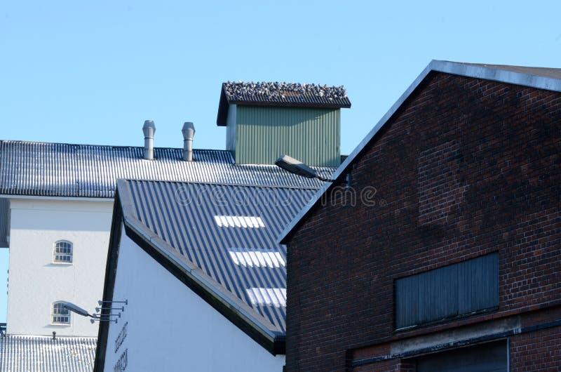Duvor på taklägga royaltyfria bilder