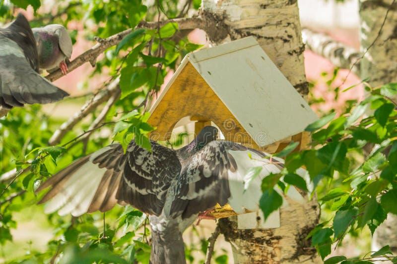 Duvor runt om fågelförlagematare arkivfoton