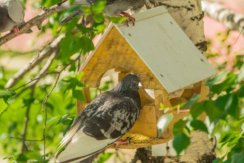 Duvor runt om fågelförlagematare royaltyfri fotografi