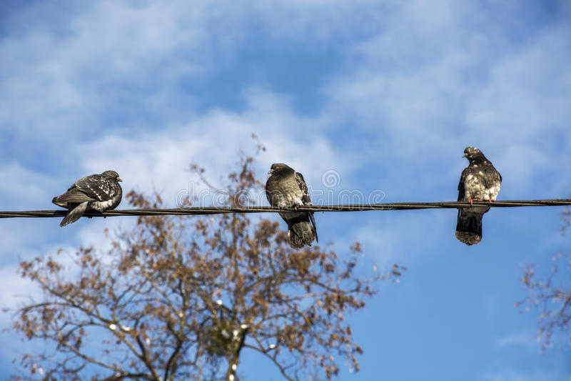 Duvor sitter på en elektrisk tråd royaltyfria bilder