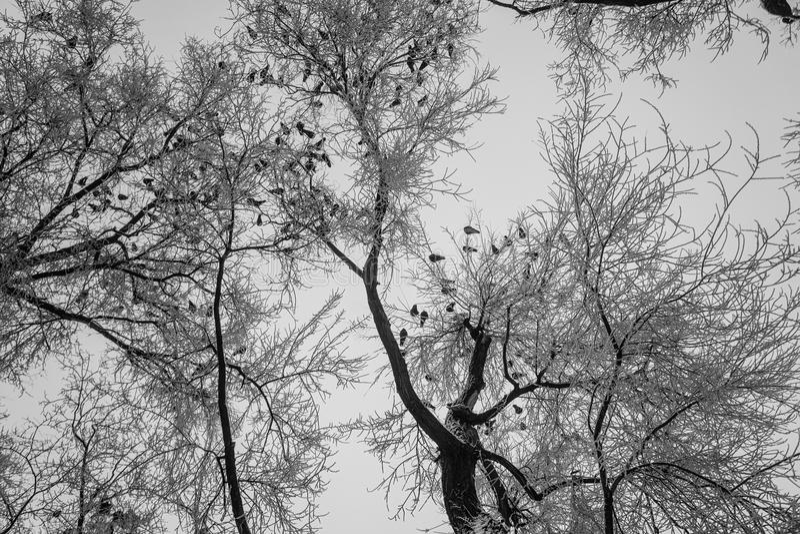 Duvor sitter på filialerna av träden som täckas med rimfrost royaltyfri foto