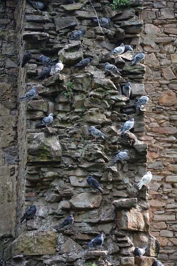 Duvor sitter på projektioner av en stenvägg arkivfoto