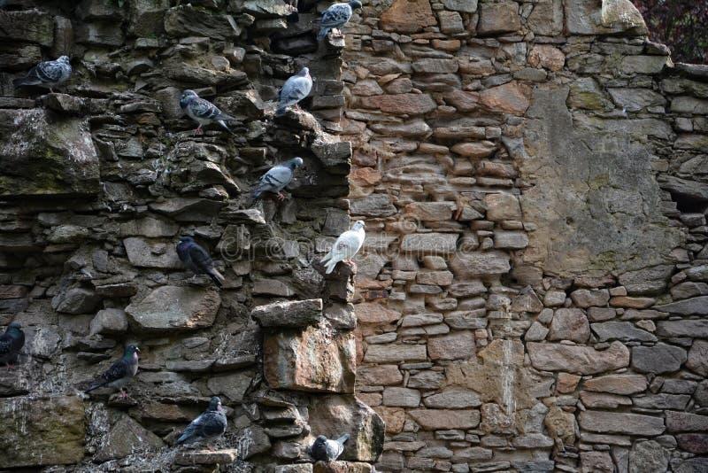 Duvor sitter på projektioner av en stenvägg fotografering för bildbyråer