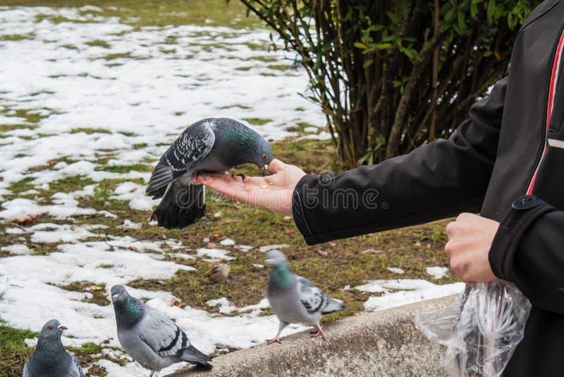 Duvor som äter från handen royaltyfria foton