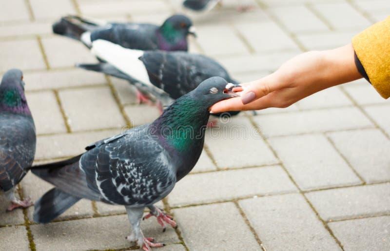 Duvor som äter från handen för kvinna` s på gatan royaltyfri bild