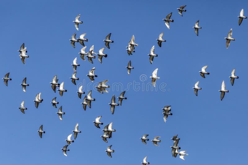 Duvor som flyger på en härlig solig dag med en bakgrund för blå himmel royaltyfri foto
