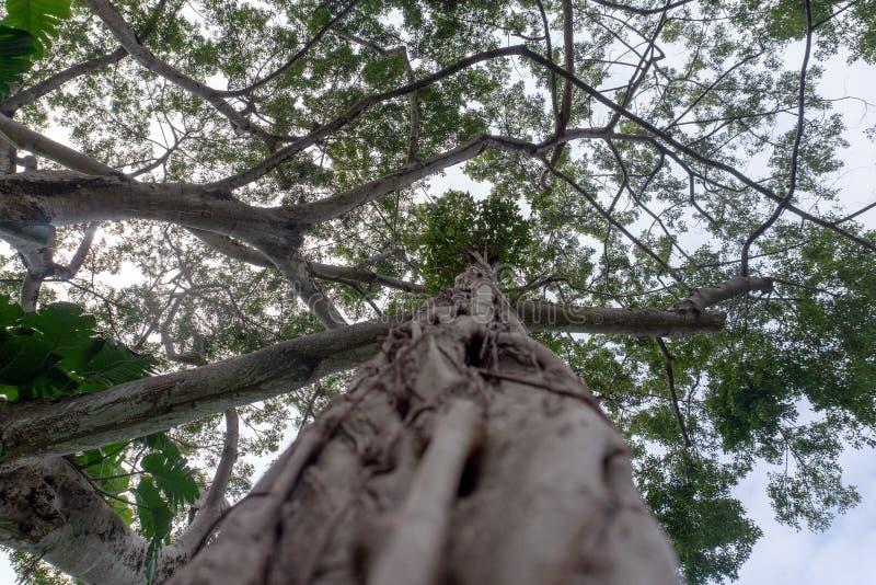 Duzi beniamin gałąź lian korzenie obrazy royalty free
