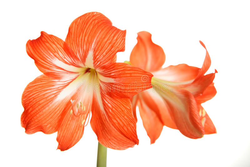Duzi czerwień kwiaty odizolowywający na bielu obraz royalty free