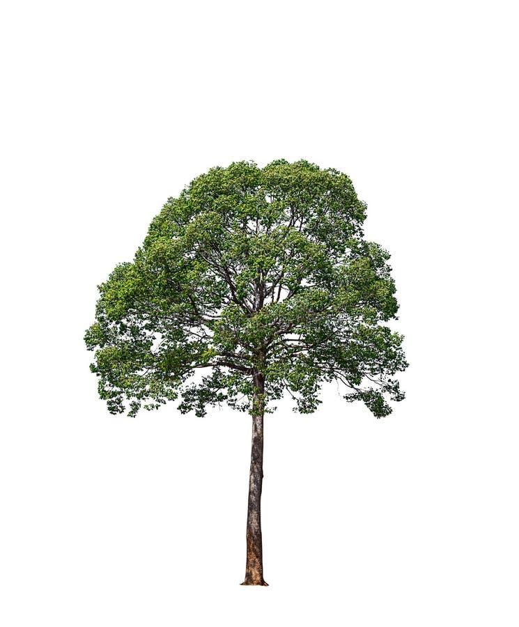 Duzi drzewa odizolowywający na białym tle obrazy stock