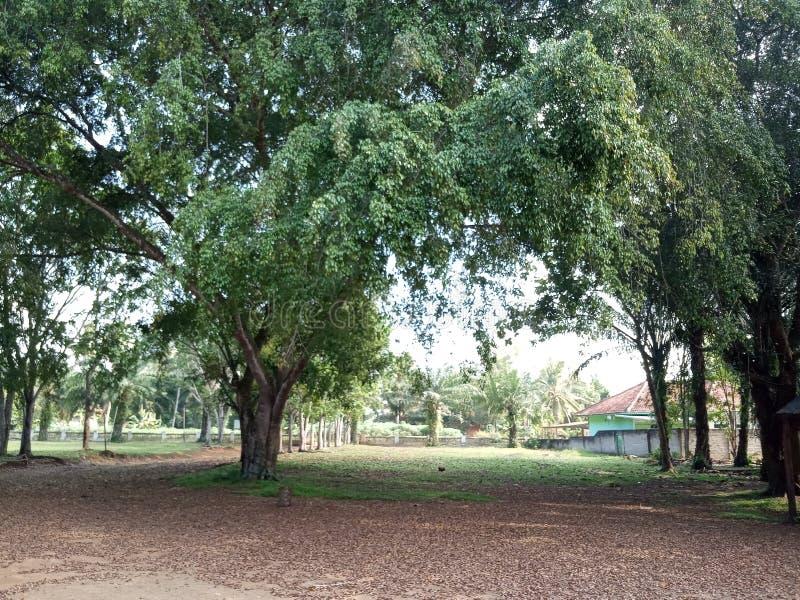 Duzi drzewa przy lasem zdjęcie royalty free