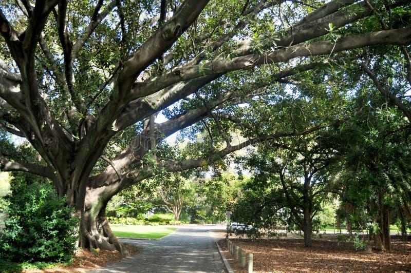 Duzi drzewa w ogródzie królewiątka park i ogród botaniczny w Perth, Australia obrazy royalty free
