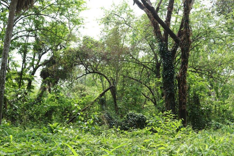Duzi drzewa w zwartym lesie zdjęcie stock