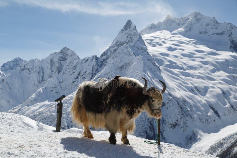 Duzi kostrzewiaści yak stojaki, spętani przeciw tłu piękne białe góry Kaukaz zdjęcie stock