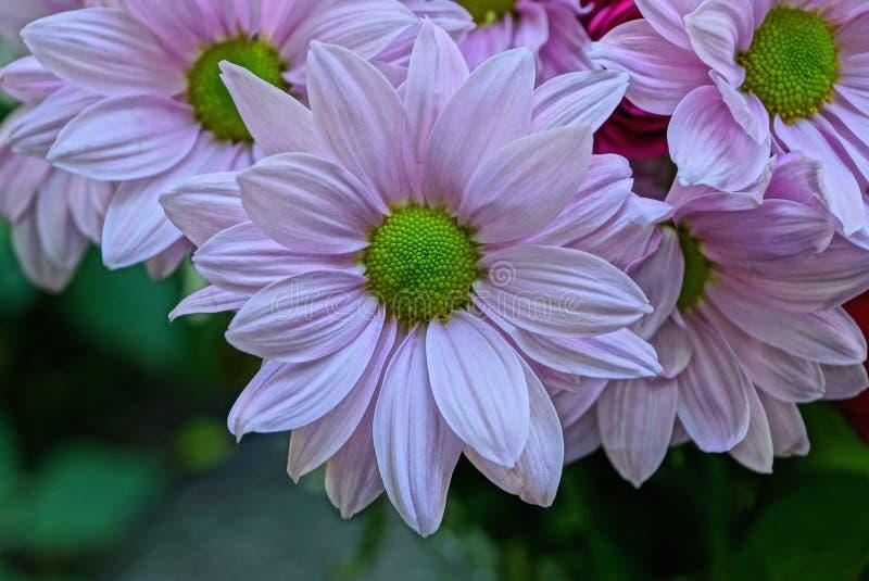 Duzi pączki różowi piękni kwiaty w bukiecie obrazy stock