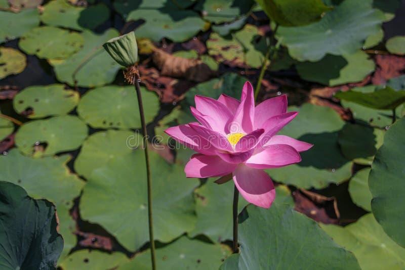 Duzi piękni kwitnie różowi lotosy na tle zieleni liście zdjęcie royalty free