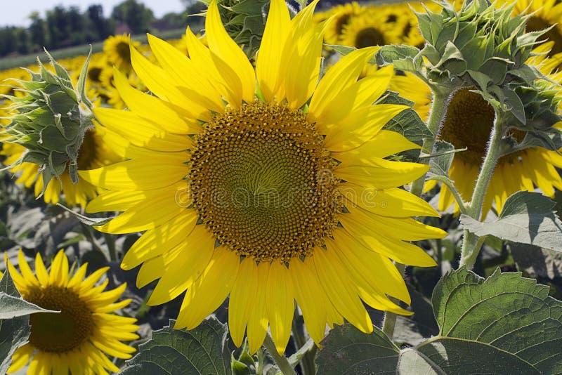 duzi słoneczniki w świetle słonecznym zdjęcie stock