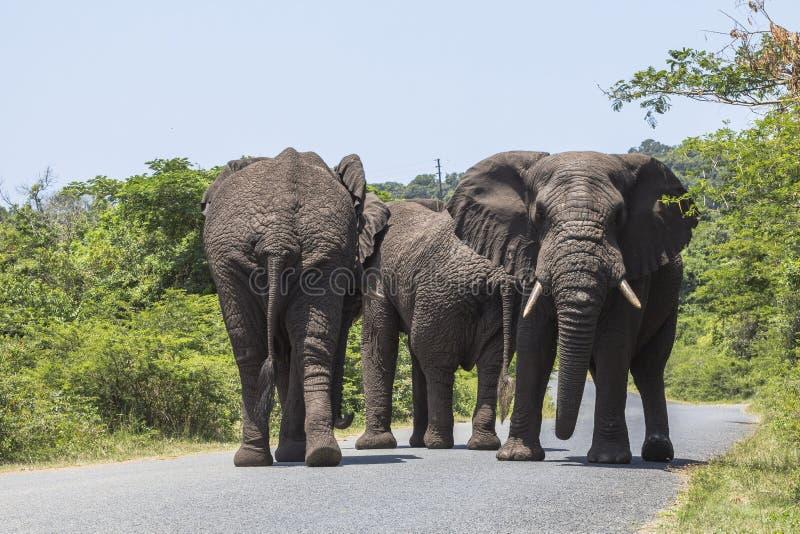 Duzi słonie chodzi na ulicie w St Lucia bagien parku zdjęcie royalty free