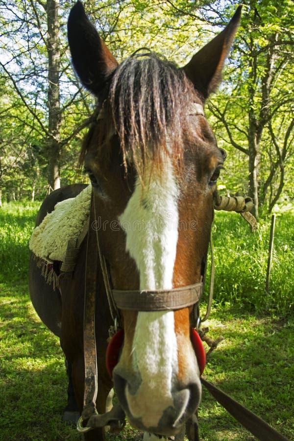 Duzi ucho końscy obraz stock