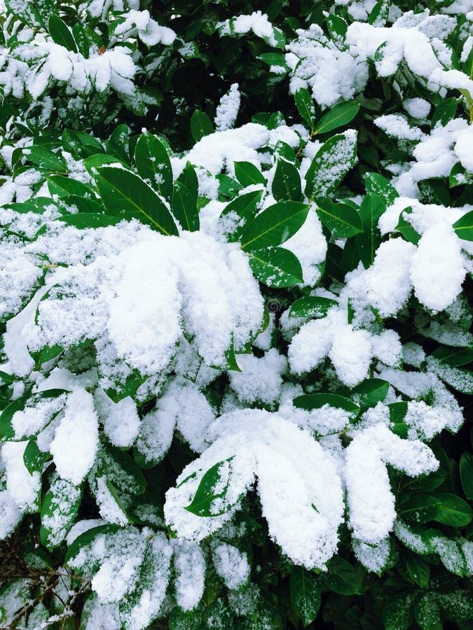 Duzi zieleń liście zakrywający z śniegiem obraz stock