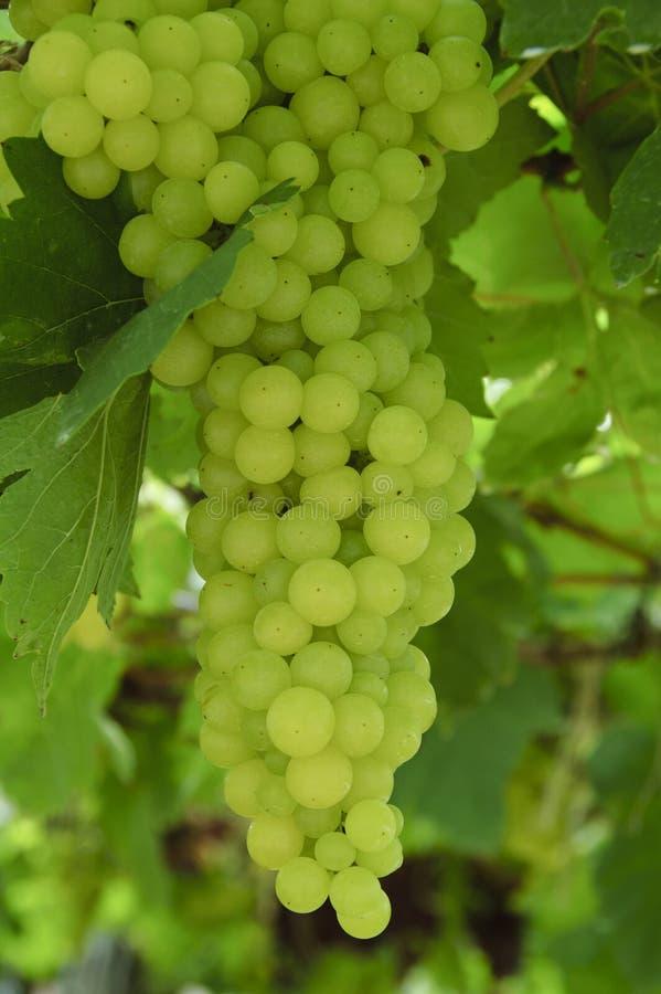 Duzi zieleni winogrona zdjęcie royalty free