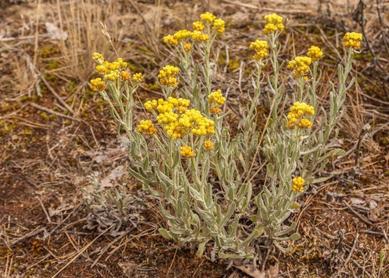 Dvärg- blommor för everlastHelichrysumarenarium royaltyfri bild