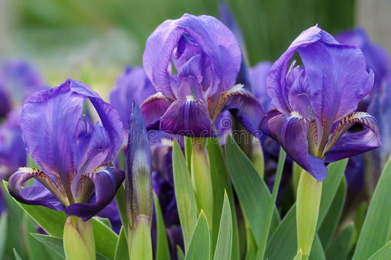 dvärg- iris tre royaltyfri foto