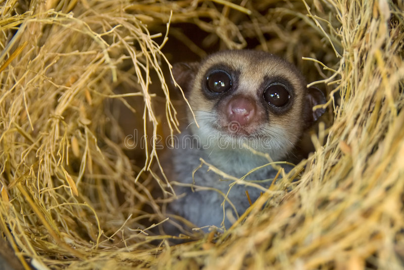 dvärg- mer stor lemur royaltyfria bilder