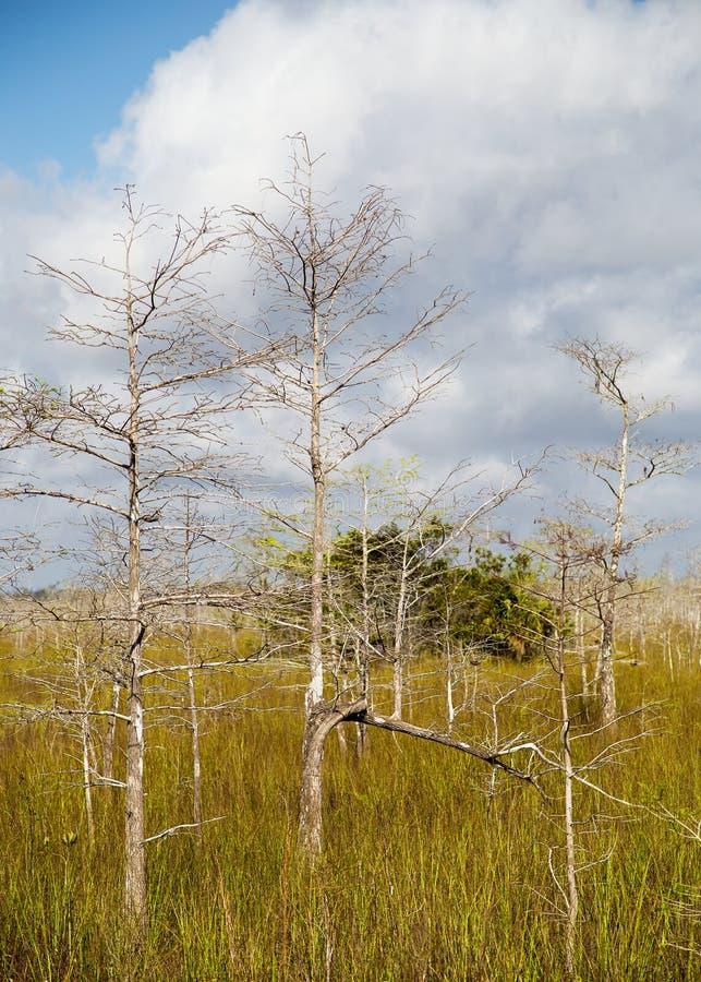 dvärg- trees för cypress arkivfoto