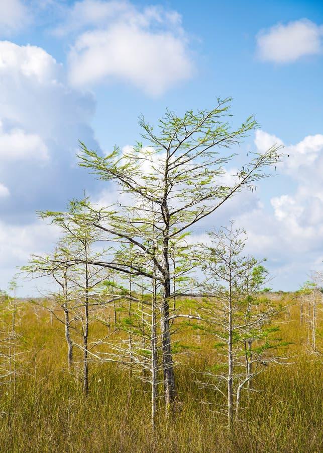 dvärg- trees för cypress royaltyfri bild