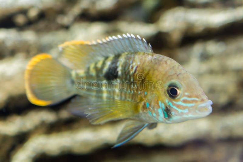 Dv?rg- Cichlid f?r akvariefisk Den Apistogramma nijssenien är art av cichlidfisken, endemisk till högt inskränkta lokala svarta v arkivfoton