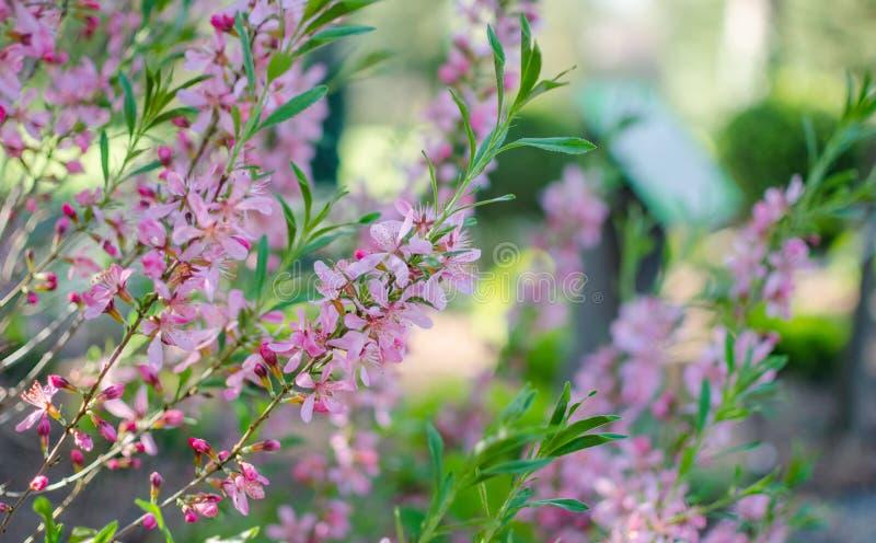 Dv?rg- rysk mandel - Prunustenella Batsch Rosa blomma v?xter fotografering för bildbyråer