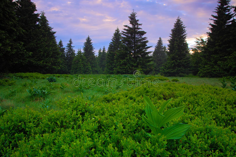 Dvorsky les, Krkonose mountain, flowered meadow in the spring, forest hills, misty morning with fog and beautiful pink and violet. Clouds royalty free stock photography