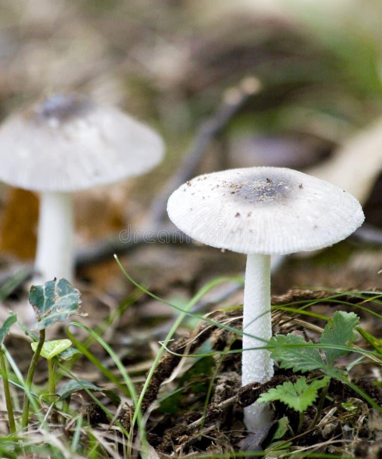 dwóch białych grzybów zdjęcia stock