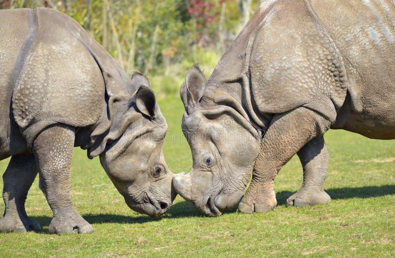 Dwóch nosorożców indyjskich zdjęcie royalty free