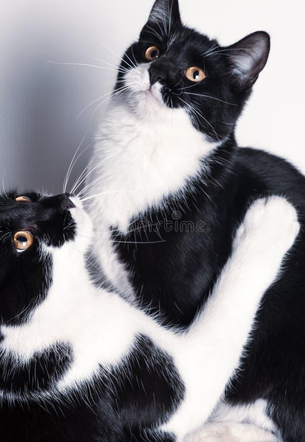 Dwa ślicznego dziecko kota plaing zdjęcia stock