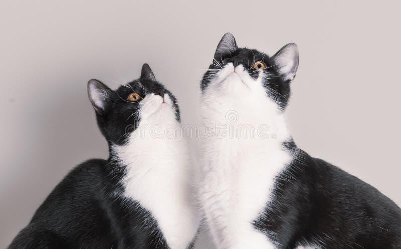 Dwa ślicznego dziecko kota przyglądającego w górę zdjęcia royalty free