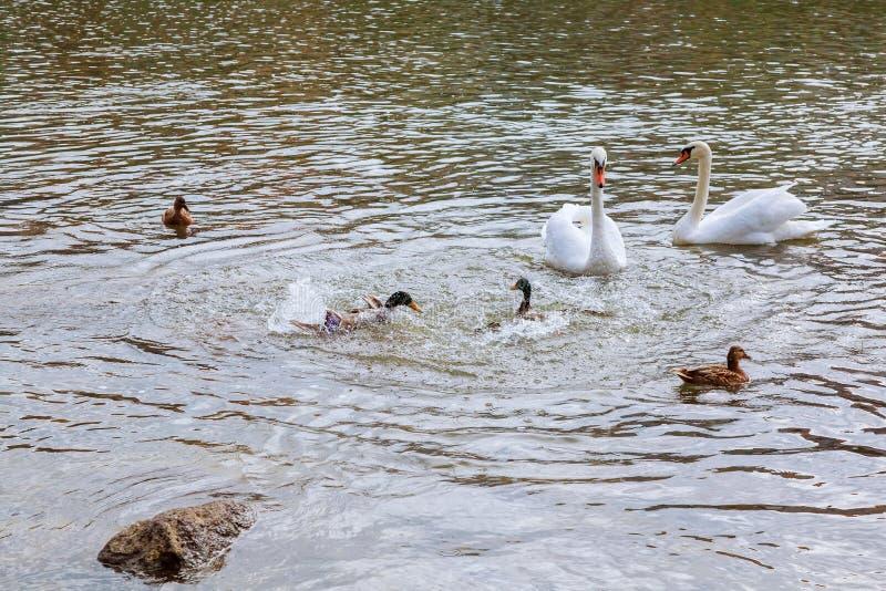 Dwa łabędź biały pławik na wodzie w parku obrazy royalty free