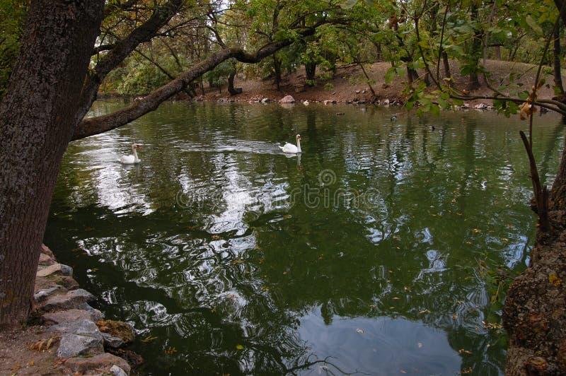 Dwa łabędź biały pławik wzdłuż rzeki zdjęcie royalty free