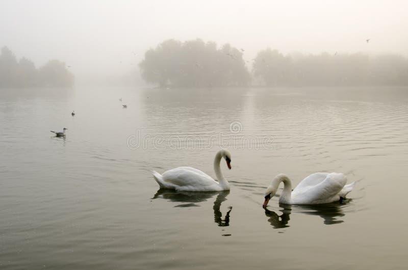 Dwa łabędź na spokojnym jeziorze w mgle, w ranku świetle zdjęcia royalty free