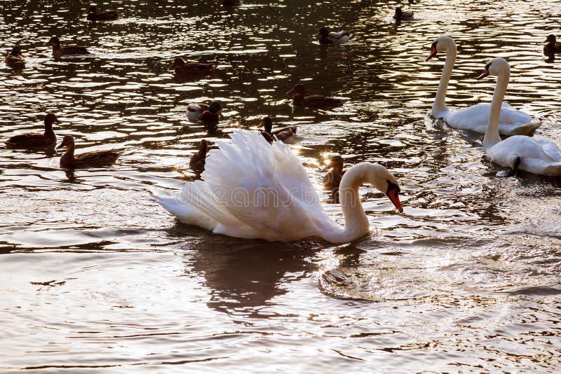 Dwa łabędź pławika biała woda w parkowych Białych łabędź unosi się rzekę obrazy stock
