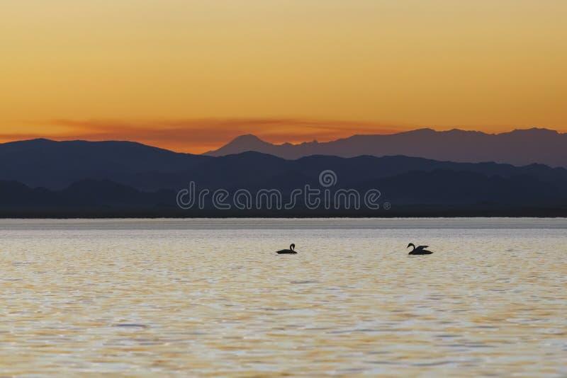 Dwa łabędź przy zmierzchu nastolatka dopłynięciem w jeziorze fotografia royalty free