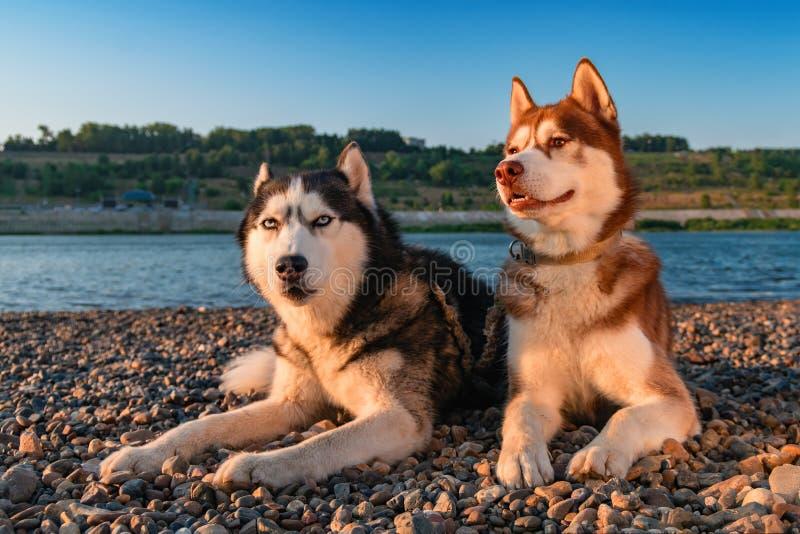 Dwa łuskowatego psa kłamają stronę popierają kogoś na brzegowej lato rzece na ciepłym pogodnym wieczór - obok - fotografia royalty free