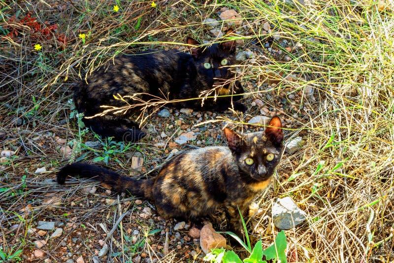 Dwa śliczna figlarka odpoczywa w trawie Koty niezwykłego żółwia c lora i jaskrawy kolor żółty ono przygląda się zdjęcia stock