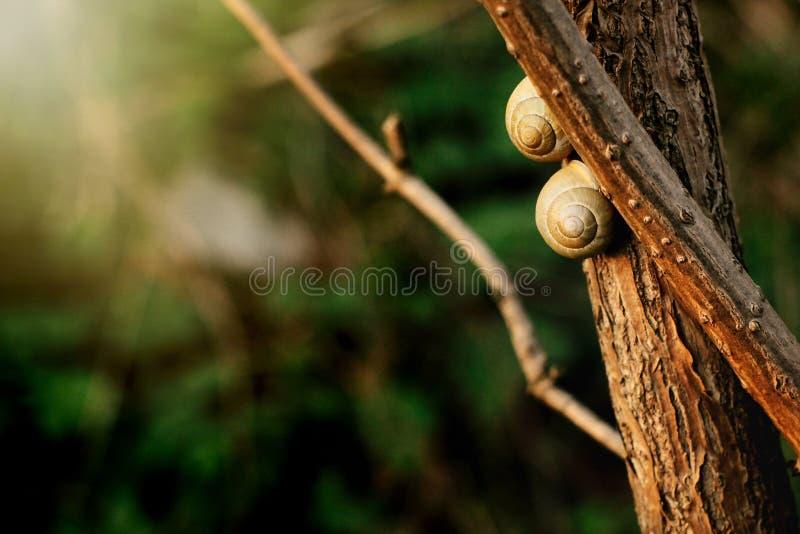 Dwa ślicznego ślimaczka na gałąź w pogodnym wieczór na zielonym tle zdjęcia stock