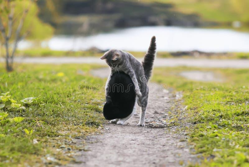 Dwa ślicznego kota ma zabawę bawić się w jardzie na trawie obraz royalty free