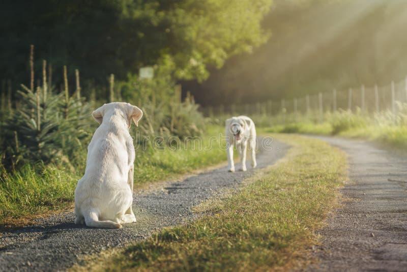 Dwa ślicznego labradora psa szczeniaka na polu podczas wiosny zdjęcia stock