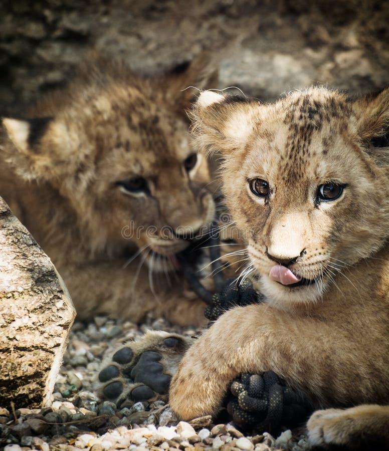 Dwa ślicznego lwa lisiątka zdjęcie royalty free