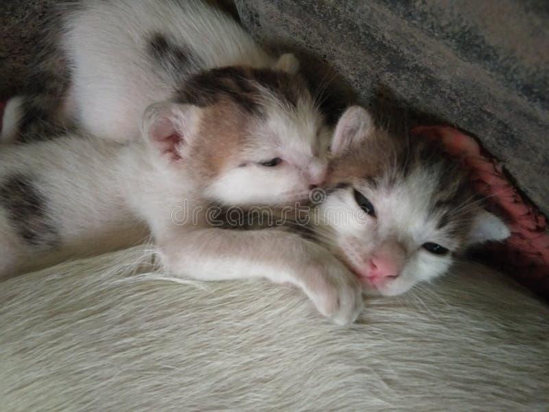 Dwa ślicznego uroczego sypialnego dziecko kota obraz stock