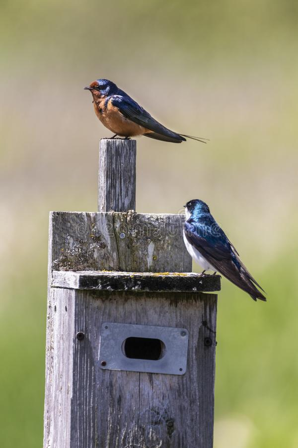 Dwa Ślicznej dymówki na ptaka domu zdjęcie royalty free