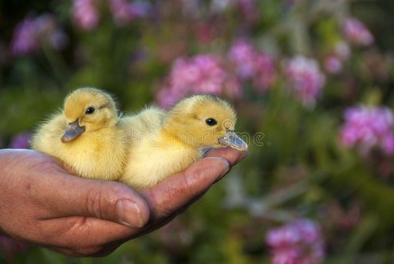 Dwa ślicznej dziecko kaczki fotografia stock